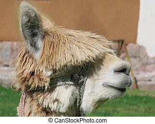 Llama close up, Sacred Valley, Machu Picchu, Cuzco, Peru -...