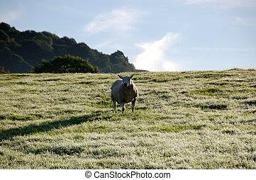 One sheep in a frosty field in crisp morning sunlight