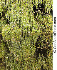 background willow reflections - green willow leaves...