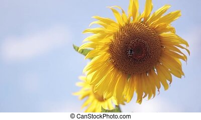 Close-up view of sunflower against the background of the...