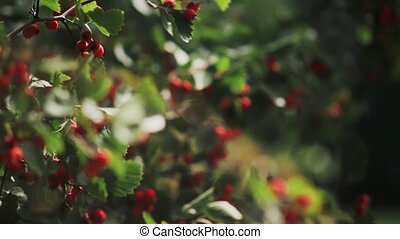 Hawthorn berries on a branch on a summer day. Close-up view...