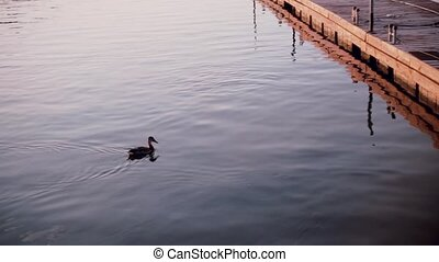 Duck swimming in the lake at sunset alone. Nature view with...