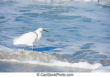 white heron in foamy surf - white heron in foamy ocean water