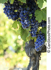Red wine grapes growing in a vineyard. - Red wine grapes...