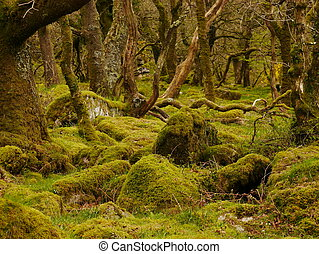 Dartmoor Woodland - Green moss covered trees and stones of...
