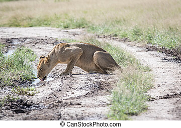 Lion drinking on the road.