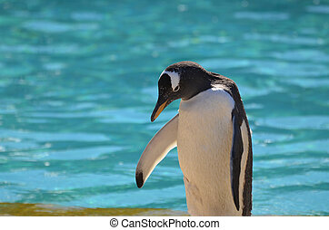 Great Gentoo Penguin With his Head Down Near Water - Gentoo...