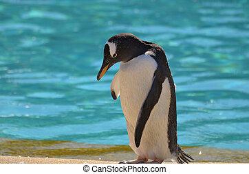Bashful Gentoo Penguin Standing Beside Aqua Water - Cute shy...