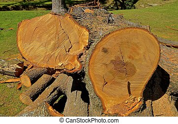 Cut up sections of a huge pine tree