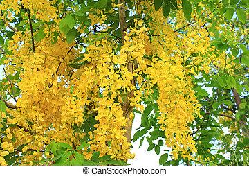 Golden shower flower (cassia fistula) in Thailand