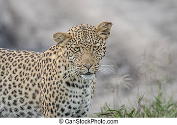 Leopard starring at the camera. - Leopard starring at the...