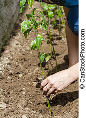 Adherence to the sprout during planting - Adherence to the...