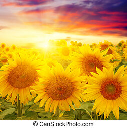 sunflowers and sun - field of sunflowers and sun