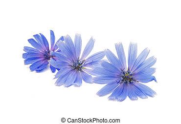 achicoria, flor