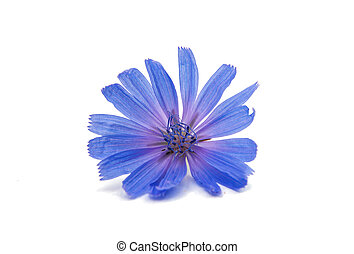 Chicory flower on a white background