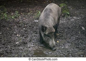 Portrait of a boar, Bialowieza National Park