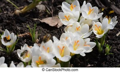 Honey bees collect nectar on crocuses. Macro.