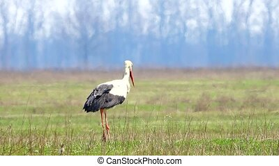 stork stork on a green grass in search of food