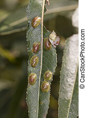 willow leaves with eggs insect