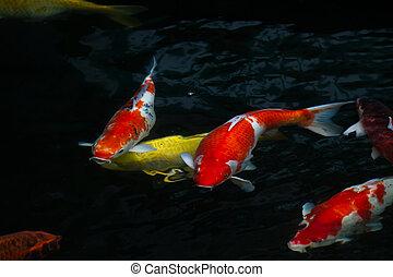 Carp fish swimming in the pond - Japan fish call Carp or Koi...
