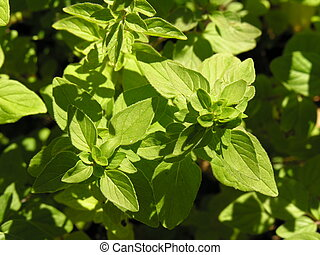 Fresh oregano growing in organic garden