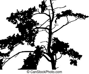 Silhouette of pine tree branches .