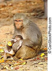 monkey female with baby eating fruit, India.