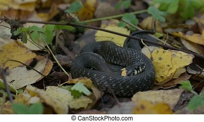 Black reptile lying on fall leaves. Autumn forest...