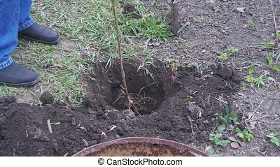 Planting Trees in the Garden - Planting trees in the garden....