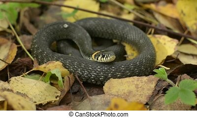 Black snake on fall leaves. Autumn forest background....
