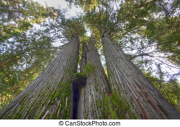 Old growth pine trees. - Some old growth pine trees rise...