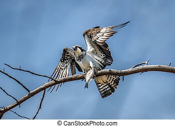 Osprey in a tree holding a fish in talons - Osprey on a tree...