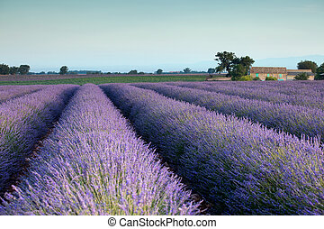 Purple heaven - Farm and rows of scented flowers in the...