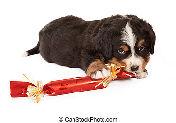 Dog with christmas gift - Bernese mountain dog puppy playing...