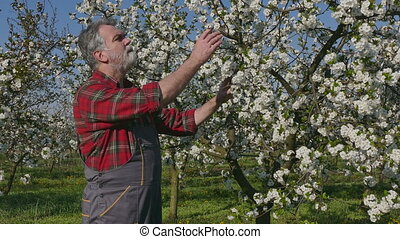 Farmer in cherry orchard - Agronomist or farmer examine...