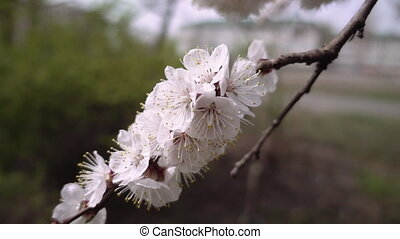 Beautiful flower blossom cherry tree branch - Beautiful...