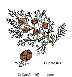 Colorful Drawing Cypress Branch Concept - Colorful drawing...