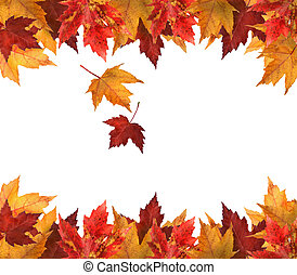 Maple leaves isolated on white background