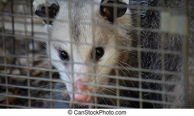 possum in a trap - A possum has been caught in a humane trap...