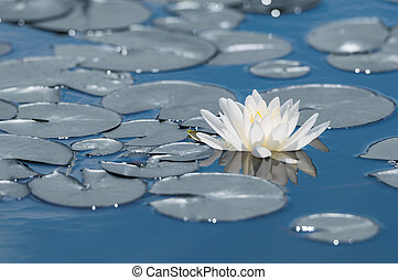 White water lily flower on mirror blue lake surface