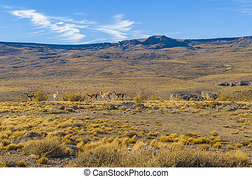 Vicuna at Patagonia Landscape, Argentina - Vicuna at arid...