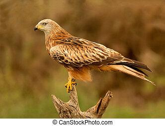 Adult of kite on a natural innkeeper. Milvus milvus