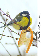 Great tit eats piece of bread - Great tit sits on the branch...