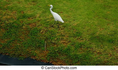 White Egret near lake - Great white Egret walk near bank of...