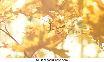 Sun shining throw yellow trees leaves. Natural background,...