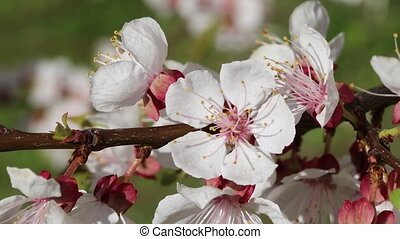 Apricot blossom close-up - Brunch apricots blossoms against...