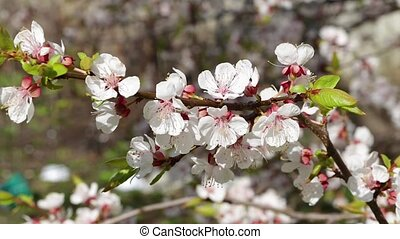 White flowers and buds of an apricot