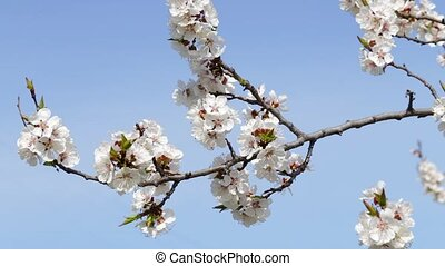 blossoms against the blue sky - Tree apricots blossoms...