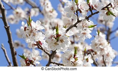 Tree apricots blossoms against the blue sky, spring day....