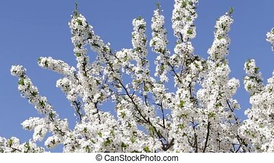 Tree with flowers on the blue sky - Tree apricots blossoms...